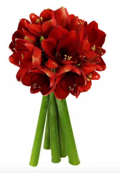 Blumeideal 5 rote Amaryllis